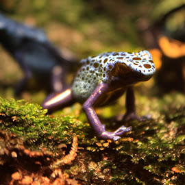 Poisonous frog - beware by Cheryl Jackson - Animals Amphibians ( poisonous, spotted, blue, frogs, woods )
