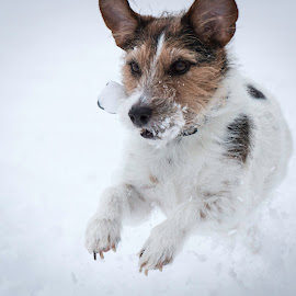Brrrr its cold by Shawn Klawitter - Animals - Dogs Playing ( playing, jack russell, dogs, snow )