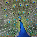 Indian Peafowl/Blue Peafowl (male)