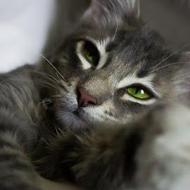 Bailey's Eyes #2 by Danielle Benbeneck - Animals - Cats Kittens ( cats eyes, cat, kitten, grey, yellow eyes )