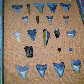 Miocece Shark Teeth by Christy Witschie - Novices Only Objects & Still Life