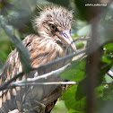 Black-crowned Night Heron (fledgling)