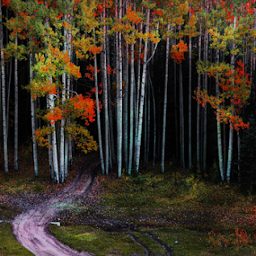 A Road to Find by Dennis Ducilla - Landscapes Forests ( colors, fall, art filters, trunks, colorado, aspens, filters, roads )