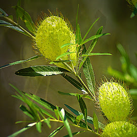 Seed Pods. by Dave  Horne - Nature Up Close Other plants