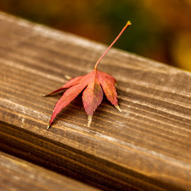 Leaf by Daniel Chobanov - Nature Up Close Leaves & Grasses ( bench, wood, autumn, colors, leaf )
