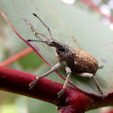 Fruit-tree Root Weevil