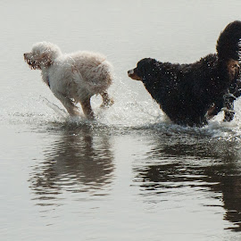 Playing in the Shallows by Garry Dosa - Animals - Dogs Running ( water, beach, dog, animal,  )