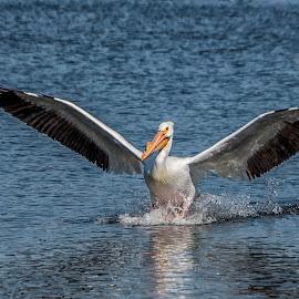 Graceful Landing by Sue Matsunaga - Animals Birds