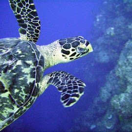 'Nother turtle! by Jen Rhora - Animals Sea Creatures (  )