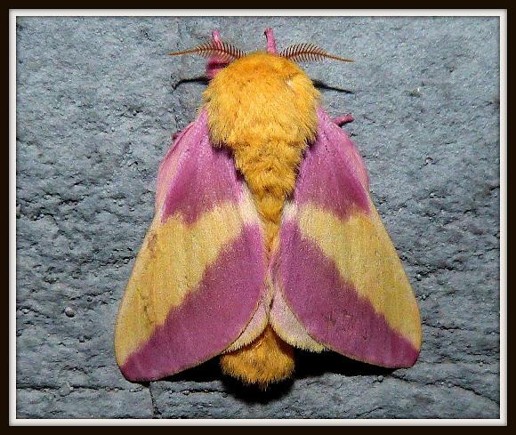 Rosy Maple Moth   Project Noah - photo#18