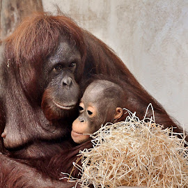 by Wendy Faber - Novices Only Wildlife ( ape, orang oetan, monkey )