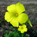 Bermuda buttercup, African wood-sorrel, Bermuda sorrel, Buttercup oxalis, Cape sorrel, English weed, Goat's-foot, Sourgrass, Soursob or Soursop