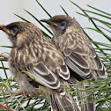 Baby Red Wattlebirds