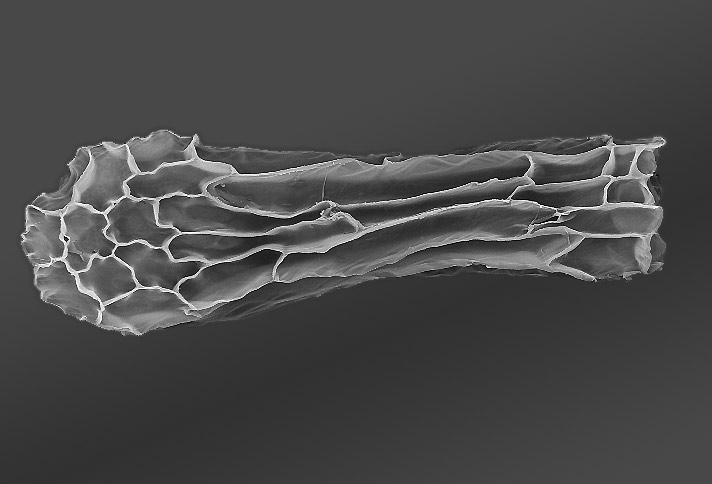 Semilla de Anacamptis morio al M.E.B.