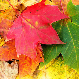 Autumn colours by Linda Boyer - Nature Up Close Leaves & Grasses ( red, nature, autumn, leaf, leaves, fall, color, colorful )