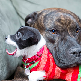 Head Rest by Jason Nordby - Animals - Dogs Puppies ( staffordshire terrier, yawning, pit bull, chihuahua mix, eskimo mix )