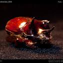 Escarabajo Rinoceronte tricornio