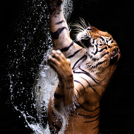 jump tiger by Ivan Lee - Animals Lions, Tigers & Big Cats ( water, grab, tiger, splash, king, jump )