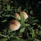 uncertain mushroom