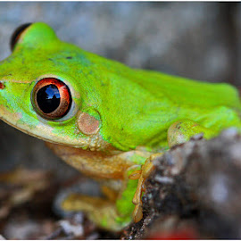 Green Frog by Hennie van Zyl - Animals Amphibians ( amphibian )