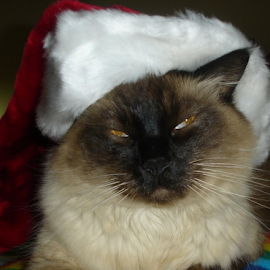 Santa Sagwa by Maureen McDonald - Animals - Cats Portraits ( cat, christmas, santa cat, sagwa, himalayan/siamese, northern kentucky,  )