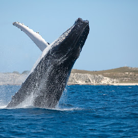 Whale Boosting Of Rottnest Island Perth by Michael PhotoTraeger - Animals Sea Creatures ( perth, color, rotto, boat, whale, landscape )