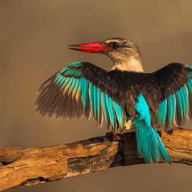 Winging It by Clive Wright - Animals Birds ( bird, wing, avian, blue, kingfisher, sun )