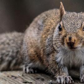 Baby by Carol Plummer - Animals Other Mammals ( squirrel )