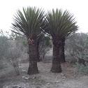 palma samandoca