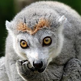 Lemur by Ralph Harvey - Animals Other Mammals ( wildlife, lemur, ralph harvey, bristol zoo, animal )