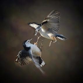 Pecking Order by Liz Crono - Animals Birds ( flight, animals, dispute, nuthatches, birds )