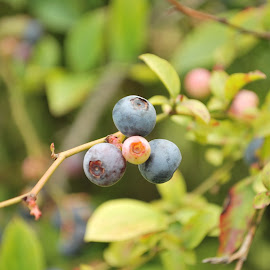 Beautiful blueberries  by Ashley Black - Food & Drink Fruits & Vegetables ( hd, blueberries, Hope )