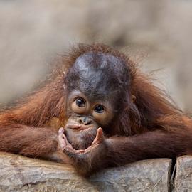 by Michael Milfeit - Animals Other Mammals ( orang utan, shocking secret )