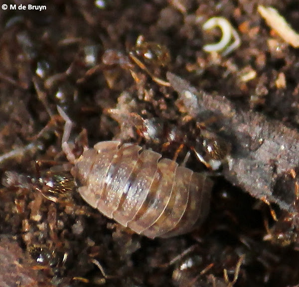 pill bug responses to household substances Test pillbug responses to moisture here's how: take a batch of medium to large pillbugs (8-10 specimens) and place them in a petri dish or jar on dry filter paper keep the container in dim light, and observe the reaction of the bugs for 2-3 minutes.