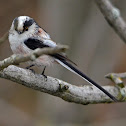 Long-tailed tit (europaeus subspecies)