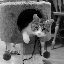 Prince by Debra Griffin - Animals - Cats Kittens ( tower, black and white, adorable, baby, kitty )