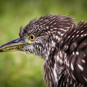 Here here heron by Jared Lantzman - Animals Birds ( looking, bird, walking, scavenger, gathering, yellow, feathers, heron, black, eye,  )