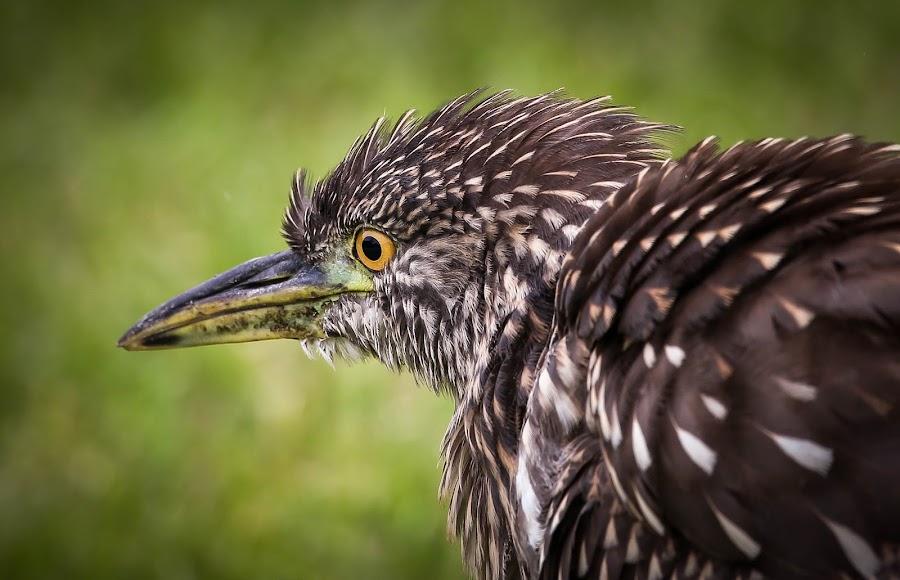 Here here heron by Jared Lantzman - Animals Birds ( looking, bird, walking, scavenger, gathering, yellow, feathers, heron, black, eye,  )