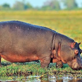 hippopotamus on Cbobe by Joss van Wyk - Animals Other ( chobe, botswana, hippopotamus, africa, kasane )