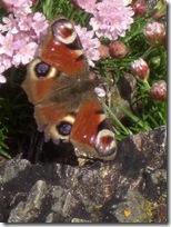 kintyre 9 westport butterfly