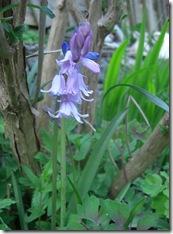 garden bluebell