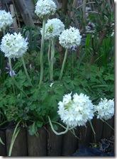 garden primula denticulata2