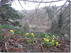 aconites at neidpath