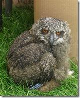 ingliston baby eagle owl