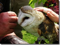 ingliston barn owl