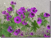 alnwick garden geraniums2