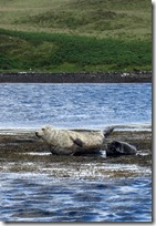 dunvegan seal6