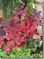 hopetoun red shrub