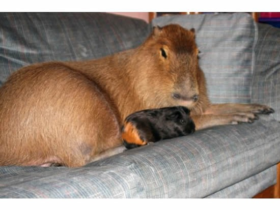 Capybara-pet2