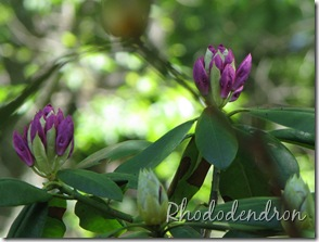 6 Rhododendron